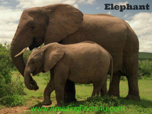 Elephants Amazing Facts 4u