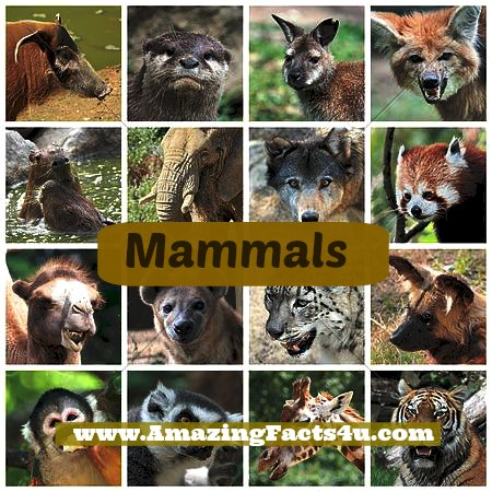 Mammals Amazing Facts 4u