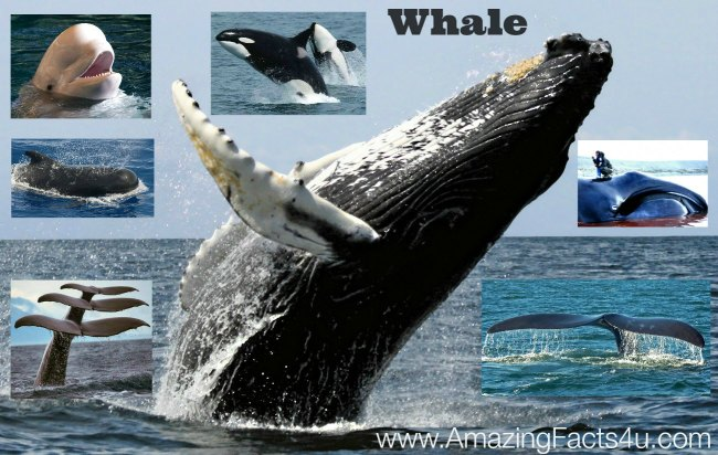 Whale Amazing Facts 4u