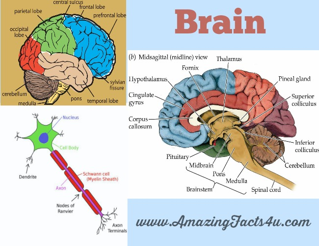 Brain Amazing Facts