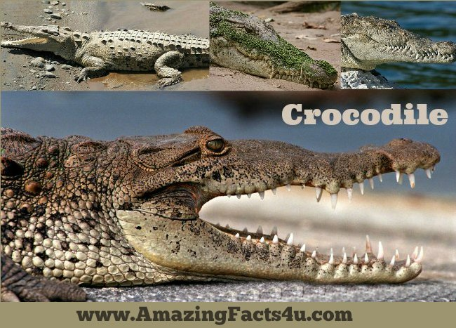 Crocodile Amazing Facts 4u