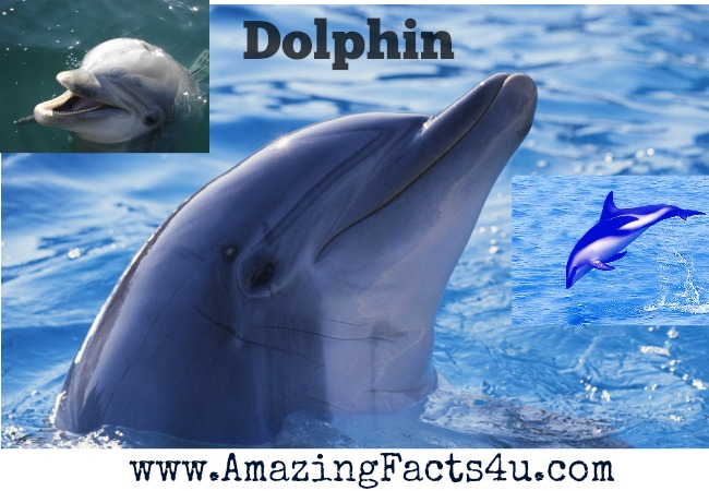 Dolphin Amazing Facts