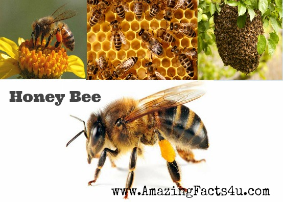 Honey Bee Amazing Facts