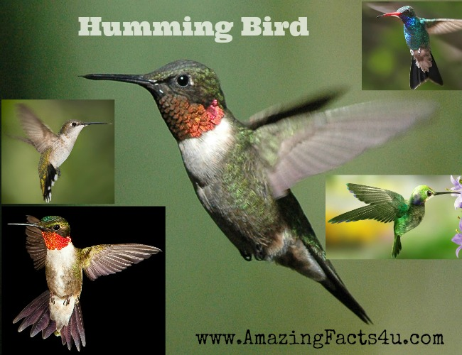 Humming Bird Amazing Facts 4u