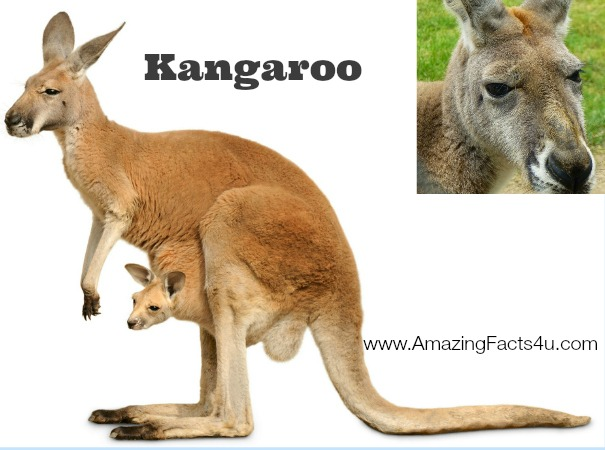 Kangaroo Amazing Facts 4u