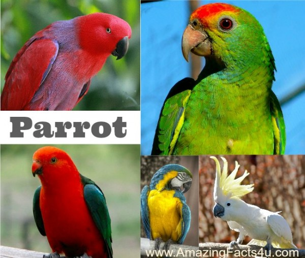 Parrot Amazing Facts 4u