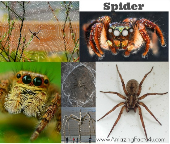 Spider Amazing Facts 4u