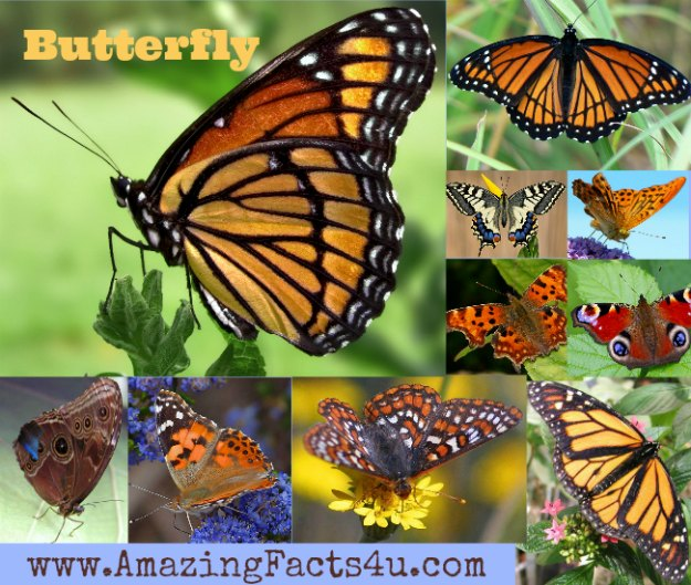Butterfly Amazing Facts