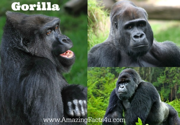 Gorilla Amazing facts