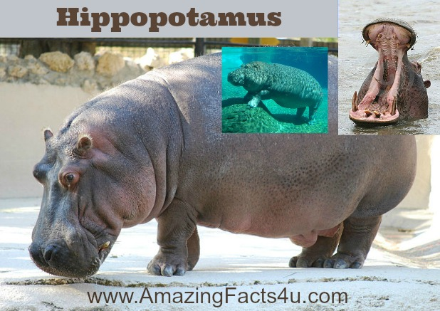 Hippopotamus Amazing Facts