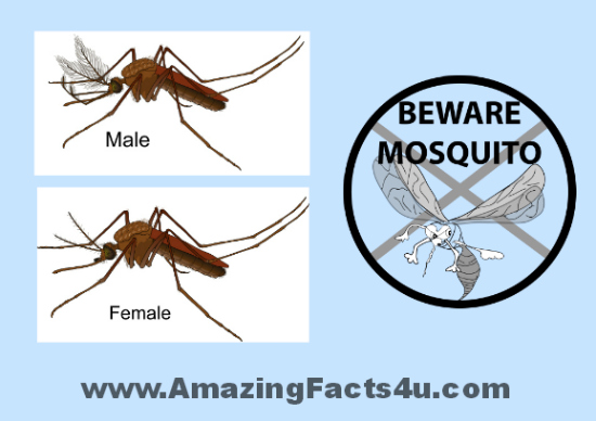 Mosquito Amazing Facts 4u