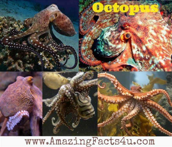 Octopus Amazing Facts