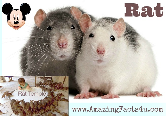 Rat Amazing Facts 4u