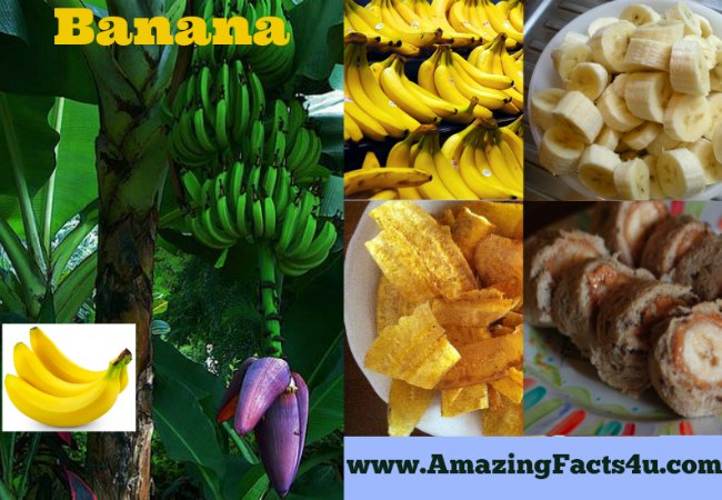 Banana Amazing Facts 4u
