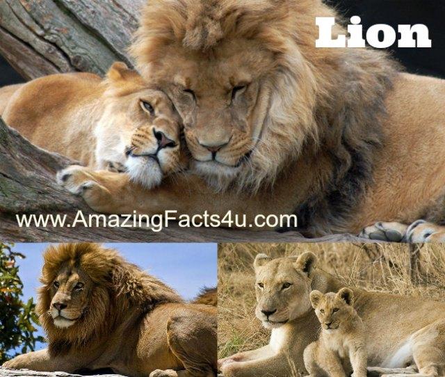 Lion Amazing Facts 4u