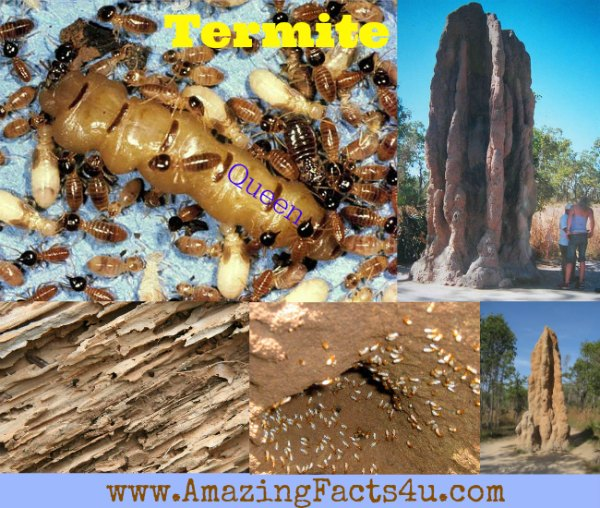 Termite Amazing Facts 4u