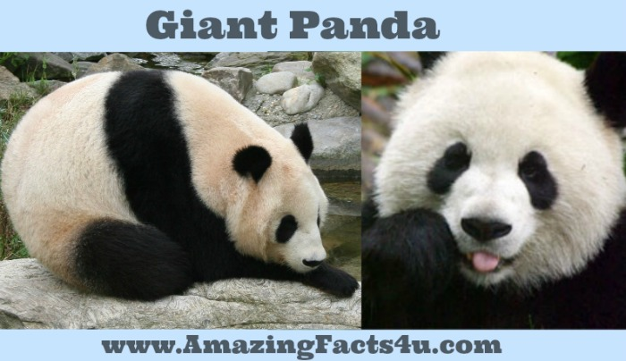 Giant Panda Amazing facts