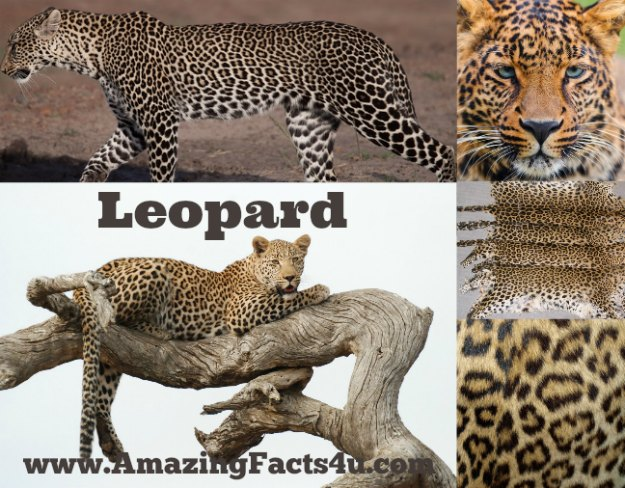 Leopard Amazing Facts