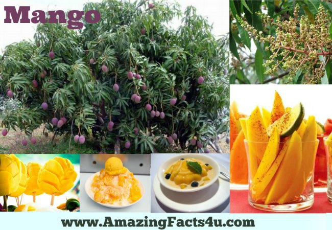 Mango Amazing Facts 4u