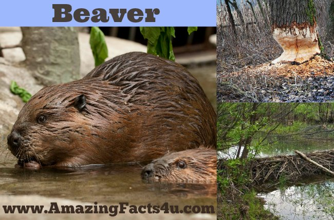 Beaver Amazing Facts