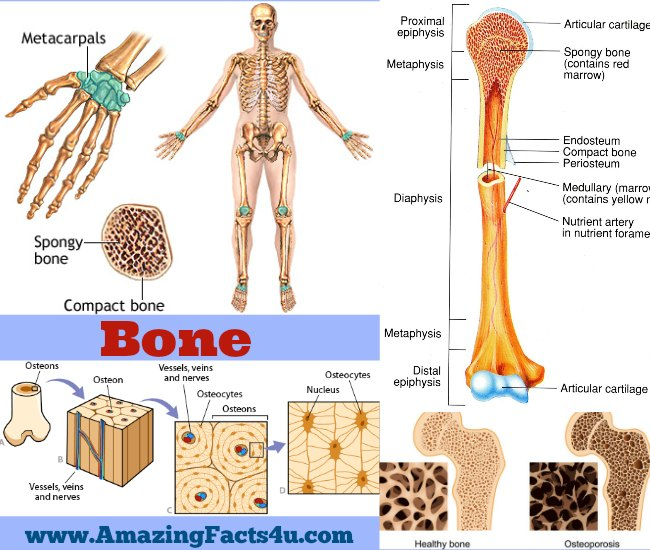 Bone Amazing Facts