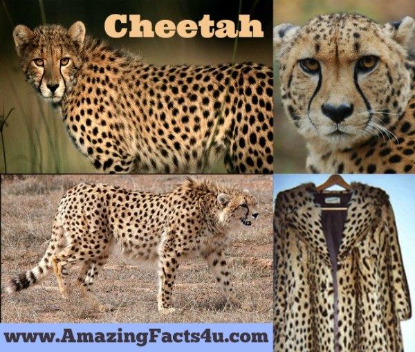 Cheetah Amazing Facts