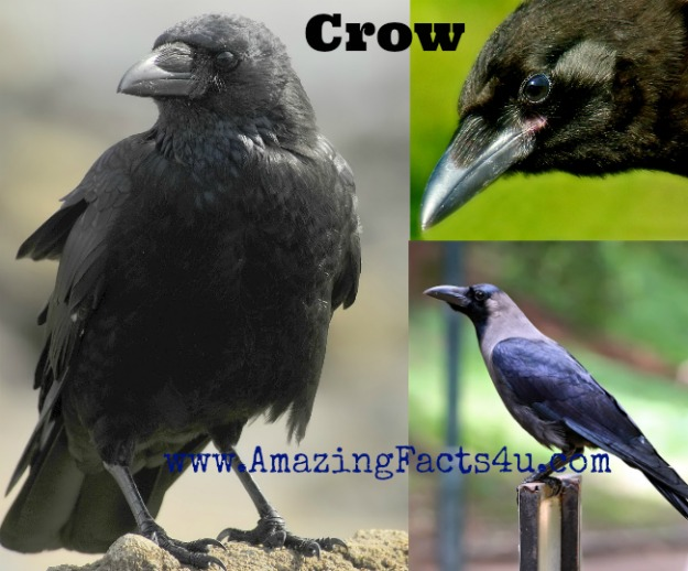 Crow Amazing Facts 4u