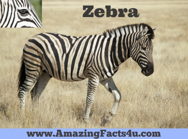 Zebra Amazing Facts 4u