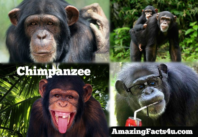 Chimpanzee Amazing facts