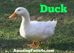 Duck Amazing facts