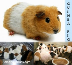 Guinea Pig Amazing Facts