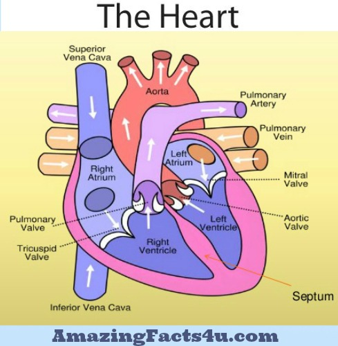 Heart Amazing Facts