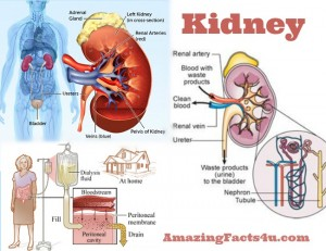 Kidney Amazing Facts