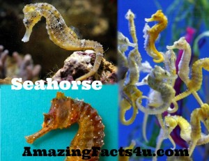 Seahorse Amazing facts