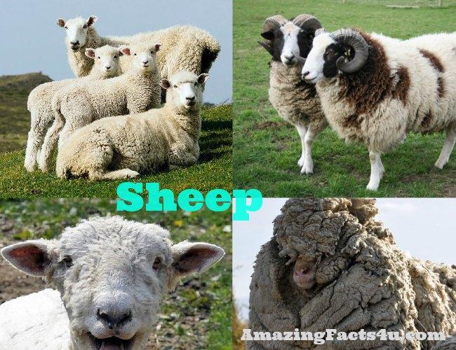 Sheep Amazing facts