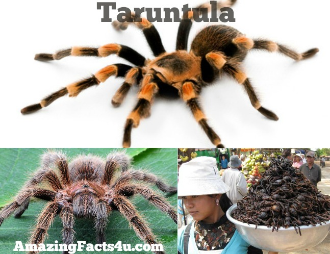 Taruntula Amazing Facts