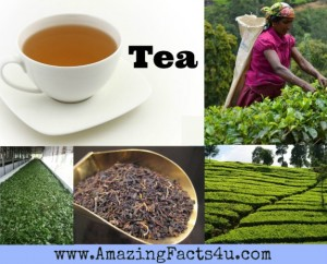 Tea Amazing Facts