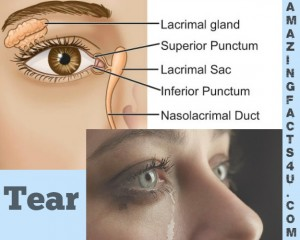 Tear Amazing facts