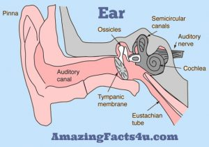 Ear Amazing Facts
