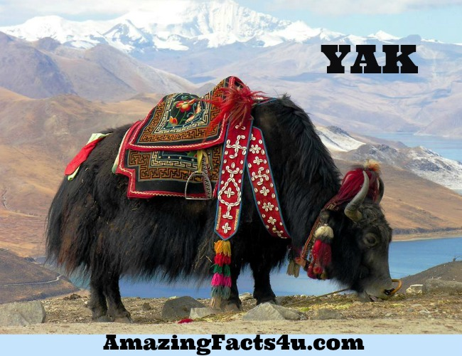 Yak Amazing Facts