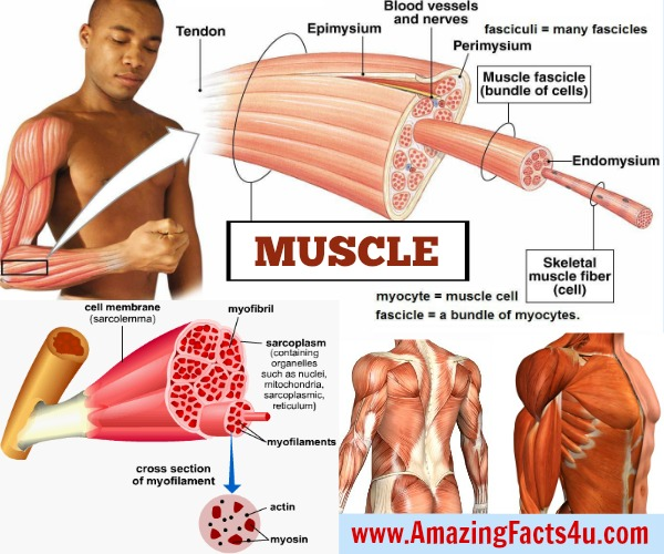 Amazing Facts Muscle