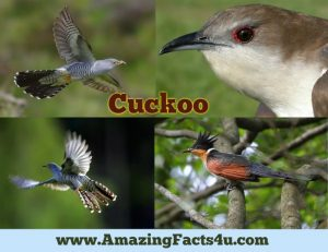 amazing-facts-cuckoo