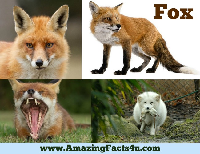 amazing-facts-fox
