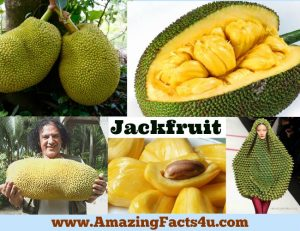amazing-facts-jackfruit