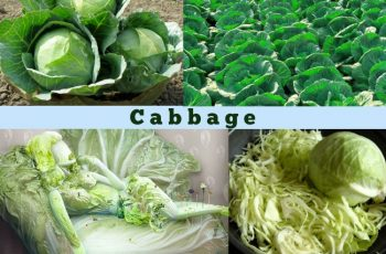 Amazing Facts Cabbage