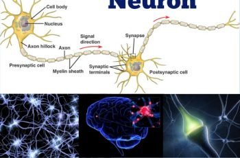 Amazing Facts Neuron