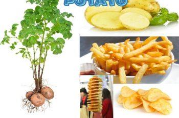 Amazing Facts Potato